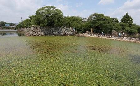 岡山城の内堀に緑のじゅうたん.水草で水質浄化(8月)